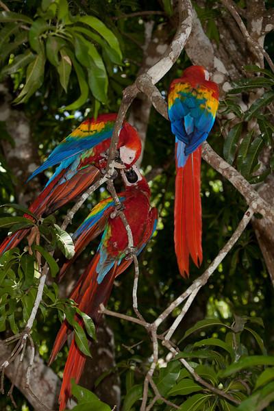Scarlet macaws (ara macao), Limonal.