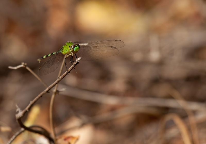 Green dragonfly.