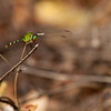 Green dragonfly.