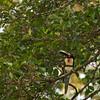 Collared Aracari (pteroglossus torquatus) in La Selva.
