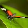 """Butterfly - <a href=""""http://butterflyconservatory.org/"""">El Castillo Butterfly Conservatory</a>."""