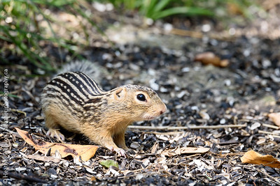 Nine-lined Ground Squirrrel