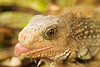 A macro close-up view of an iguana who, conveniently, chose to stick its tongue out. The shallow depth of field leaves the immediate focus on the eye with the background blurred and out of focus.
