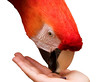 A scarlet macaw (ara macao) with bright scarlet red feathers eating a seed held in the hand of a child.
