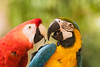 Two brightly colored macaws are touching their beaks in a face off. One is a blue and yellow macaw (ara ararauna) and the other is a scarlet macaw (ara macao). These members of the parrot family are endangered in the wild.