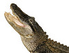 An American alligator shown with its mouth wide open, waiting to snap its jaws for food.