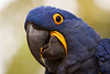A closeup of the head and face of a hyacinth macaw (anodorhynchus hyacinthinus). This member of the parrot family has all blue feathers with just a bit of yellow around the eyes and beak.