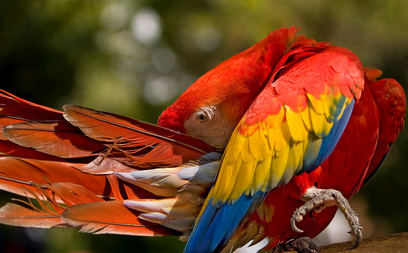 The Scarlet Macaw (Ara macao) is a large, colorful parrot. The plumage is mostly scarlet, but the rump and tail-covert feathers are light blue, the greater upperwing coverts are yellow, the upper sides of the flight feathers of the wings are dark blue as are the ends of the tail feathers, and the undersides of the wing and tail flight feathers are dark red with metallic gold iridescence. There is bare white skin around the eye.