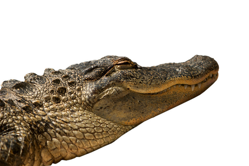 A Florida alligator that was dozing with its eyes closed in the sun. This gator has been isolated to a white background.