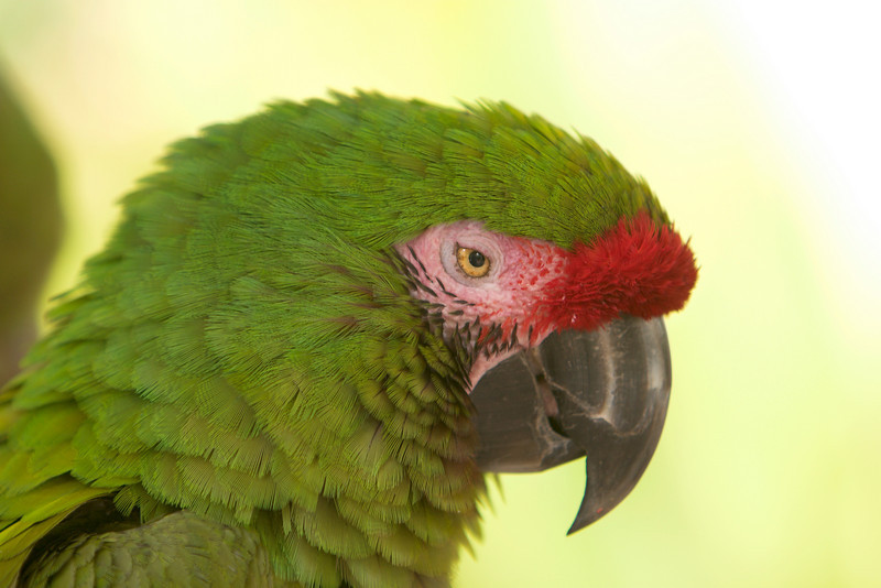 A great green macaw (ara ambigua) with close-up details. This endangered member of the parrot family has green feathers with a red forehead.
