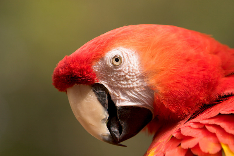 A close-up view of a scarlet macaw (ara macao). This endangered species is identifiable with its very bright red feathers.