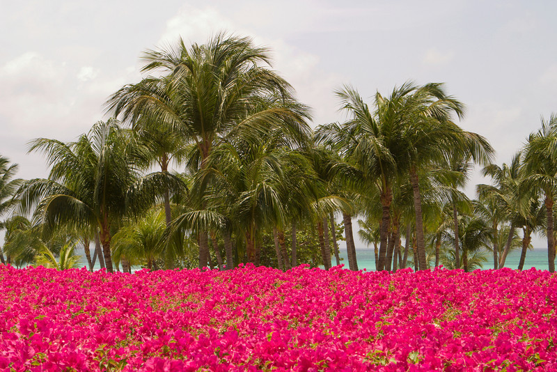 A view of palm trees and a mass of bright pink tropical flowers with the beach and ocean in the background.