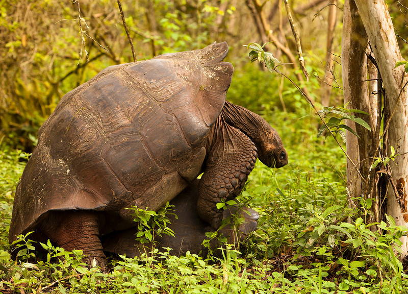 Two giant Galapagos tortoises mating in a forest on Santa Cruz Island. The male appears to have decided to do this in mid-bite as he still has grass in his mouth.