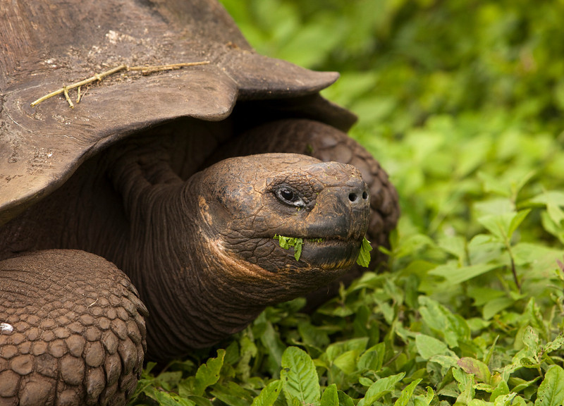 Giant galapagos tortoise (geochelone elephantopus) chewing on some grass. This endangered species is endemic to the Galapagos Islands.