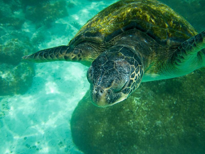 A large marine sea turtle (chelonia mydas) swimming in a lagoon in the Galapagos Islands of Ecuador.