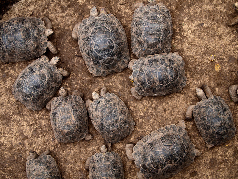 A group of baby giant tortoises (geochelone elaphantopus) milling around on the ground. These large reptiles are endemic to the Galapagos Islands and are an endanged species that is slowly recovering.