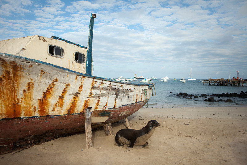 Galapagos sea lion in front of an abandoned and weathered boat on the beach in Puerto Baquerizo Moreno on San Cirstobal Island.