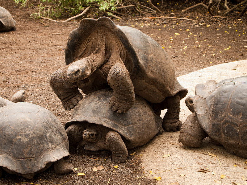 A male and female Galapagos tortoise (geochelone elephantopus) in the mating position. This endangered species of reptile is slowly staging a comeback.