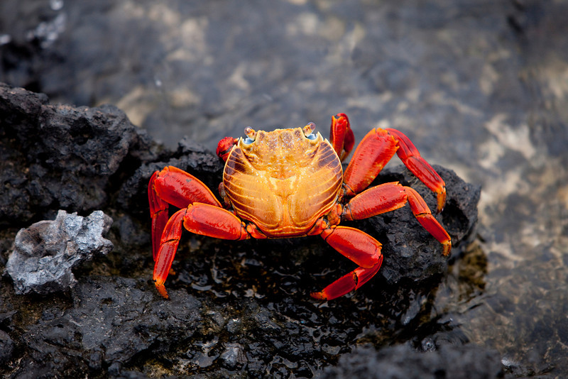 A brightly colored Sally Lightfoot crab is highlighted against black rocks on the Galapagos Islands of Ecuador.