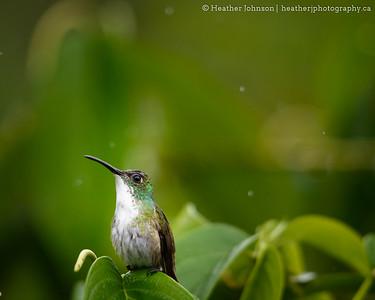 Rainy-day Hummingbird