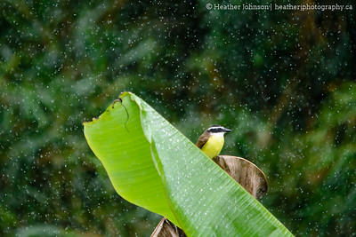 Great Kiskadee in the Rain