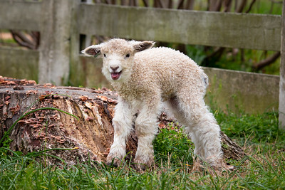 Lamb at Colonial Williamsburg (aprox 1 week old)