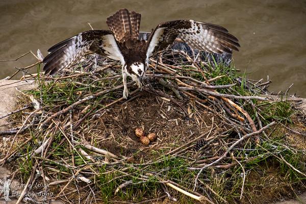 Osprey nest with eggs