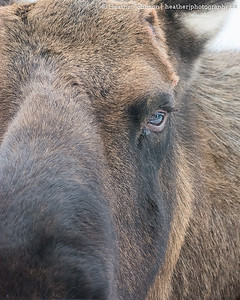 In the Eye of a Moose