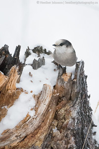 Carcross, YT.  Canada Jays are some of the toughest birds surviving in often frigid temperatures. On this day it was -38C