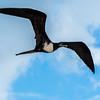 Magnificient Frigate Bird