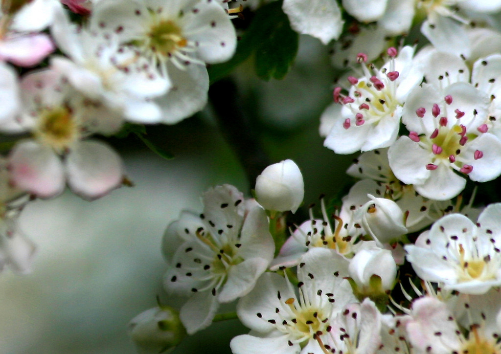 Flowering Hawthorne
