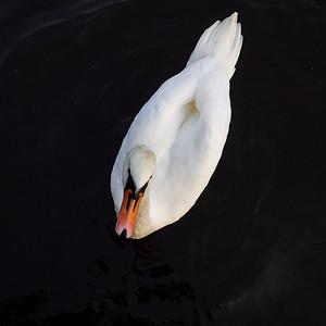 The Swan. Amsterdam