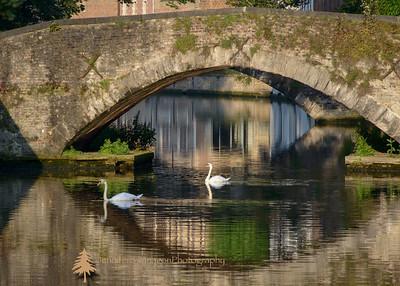 Lovely Brugge, Belgium swans