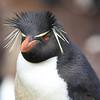 Rock Hopper Penguin, Falkland Is