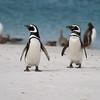 Meganellic penguins, Falkland Is