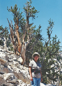 7/4/02 Methuselah Trail, Schulman Grove. Ancient Bristlecone Pine Forest. Elevation 10,100 ft. White Mountains, Inyo National Forest, Inyo County, CA