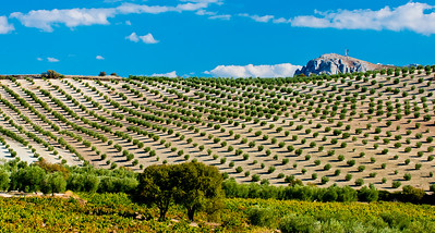 Hillside of young olive trees in Cordoba Province, Andalucia, Spain