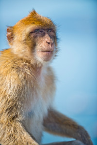 Gibraltars famous Barbary Monkeys are a key tourist attration for the area.