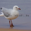 Seagull from Sydney