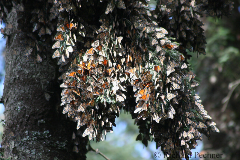 "cluster of ""sleeping"" butterflys"