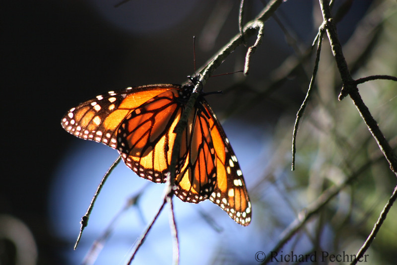Ist active butterfly of the day