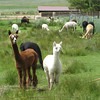 Alpacas, just north of Mora, NM
