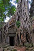 Ta Prohm famed tree roots.