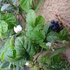 Dewberry - Rubus caesius
