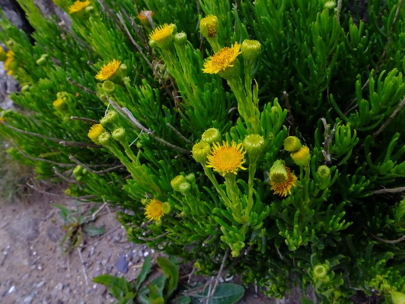 Golden samphire - Inula crithmoides