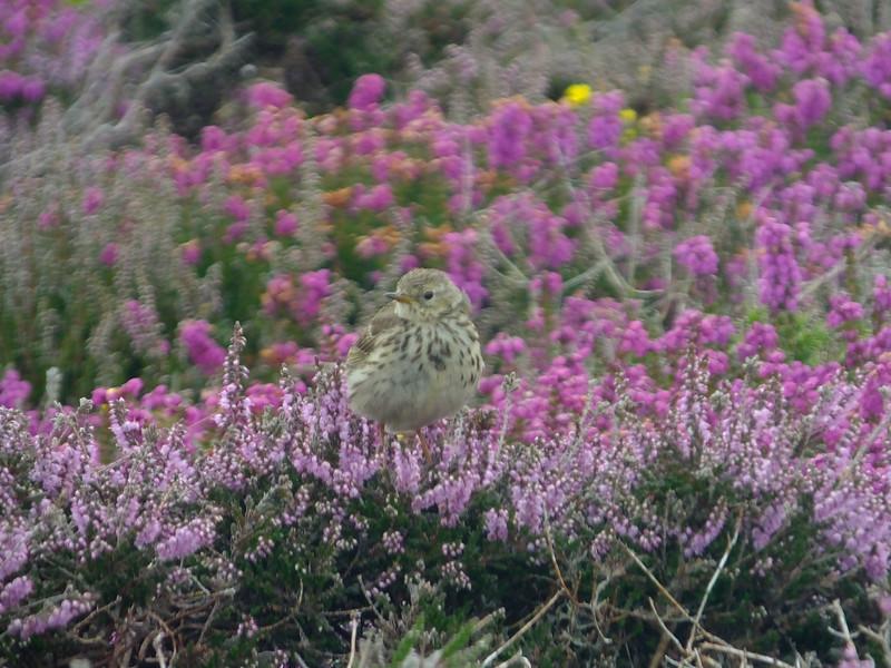Meadow Pipit - Anthus pratensis