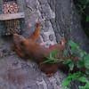 Red squirrel - Sciurus vulgaris