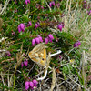 Butterfly (unidentified) on Bell heather - Erica cinerea