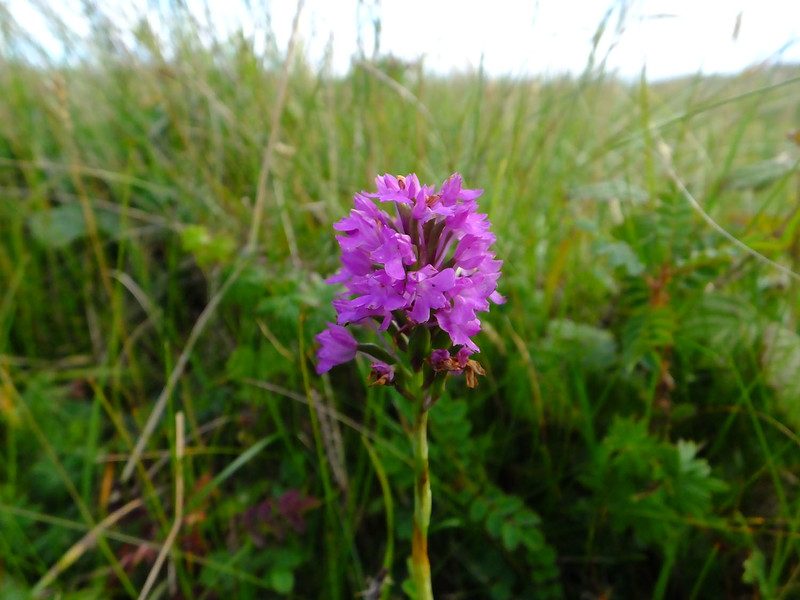 Pyramidal orchid - Anacamptis pyramadalis