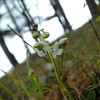 Round leaved wintergreen - Pyrola rotundifolia ssp maritima